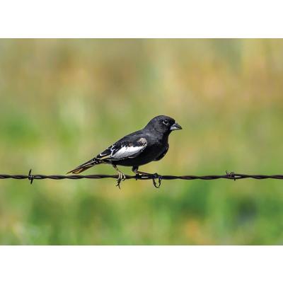The Lark Bunting: Underdog State Bird